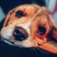 Buddy The Beagle -
